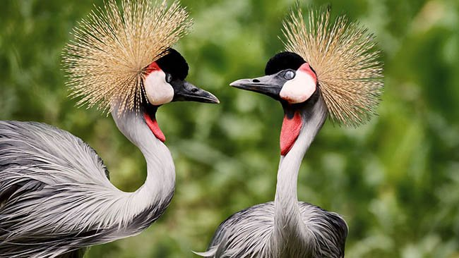 2 African Grey Crowned Cranes - VFX project for WWT